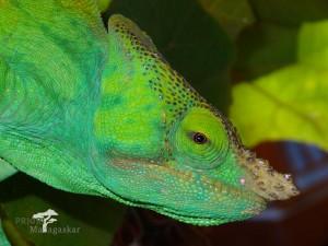 Madagaskar Chamäleon grün Reise PRIORI