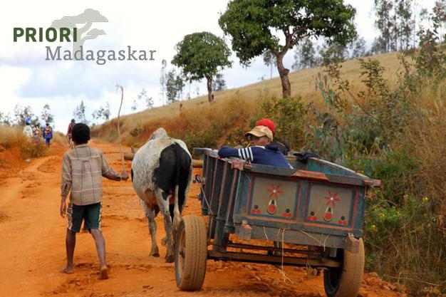 Zebukarren auf einer roten Sandpiste in Madagaskar. Copyright: PRIORI Reisen