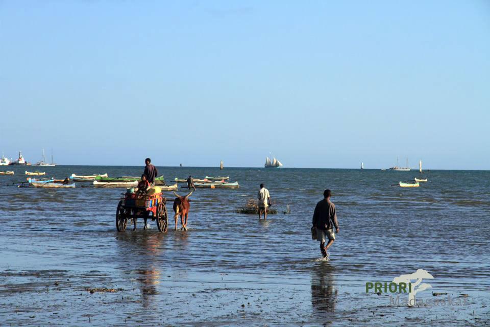 Zebukarren am Strand von Madagaskar