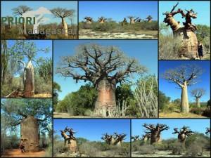 Baobab Madagaskar PRIORI Reisen
