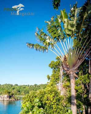 Ravenala Baum des Reisenden Madagaskar Sainte Marie PRIORI Reisen