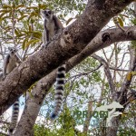 Katta-Lamuren_Andringitra_Madagaskar_Ringelschwanz_PRIORI-Reisen_web