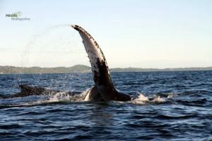 Buckelwal Flosse Madagaskar Walbeobachtung PRIORI Reisen