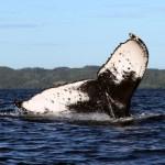 Wale Madagaskar Buckelwal Sainte Marie PRIORI Reisen