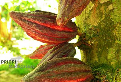 Kakao Pflanze Madagaskar Kakaobohnen Kakaofrüchte