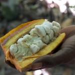 Kakao-Madagaskar
