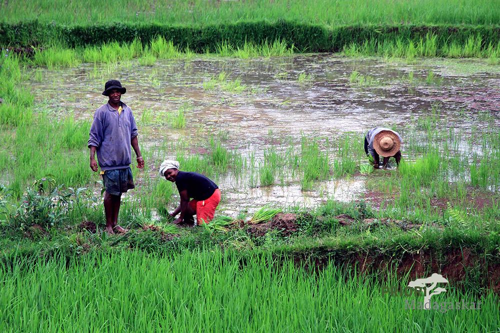 Reisbauern bei der Arbeit auf dem Feld in Madagaskar