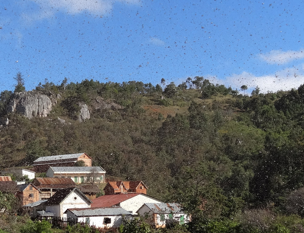 Heuschrecken Madagaskar
