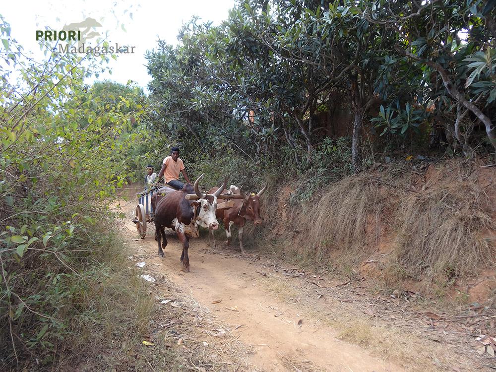 Zebukarren-Piste-Madagaskar