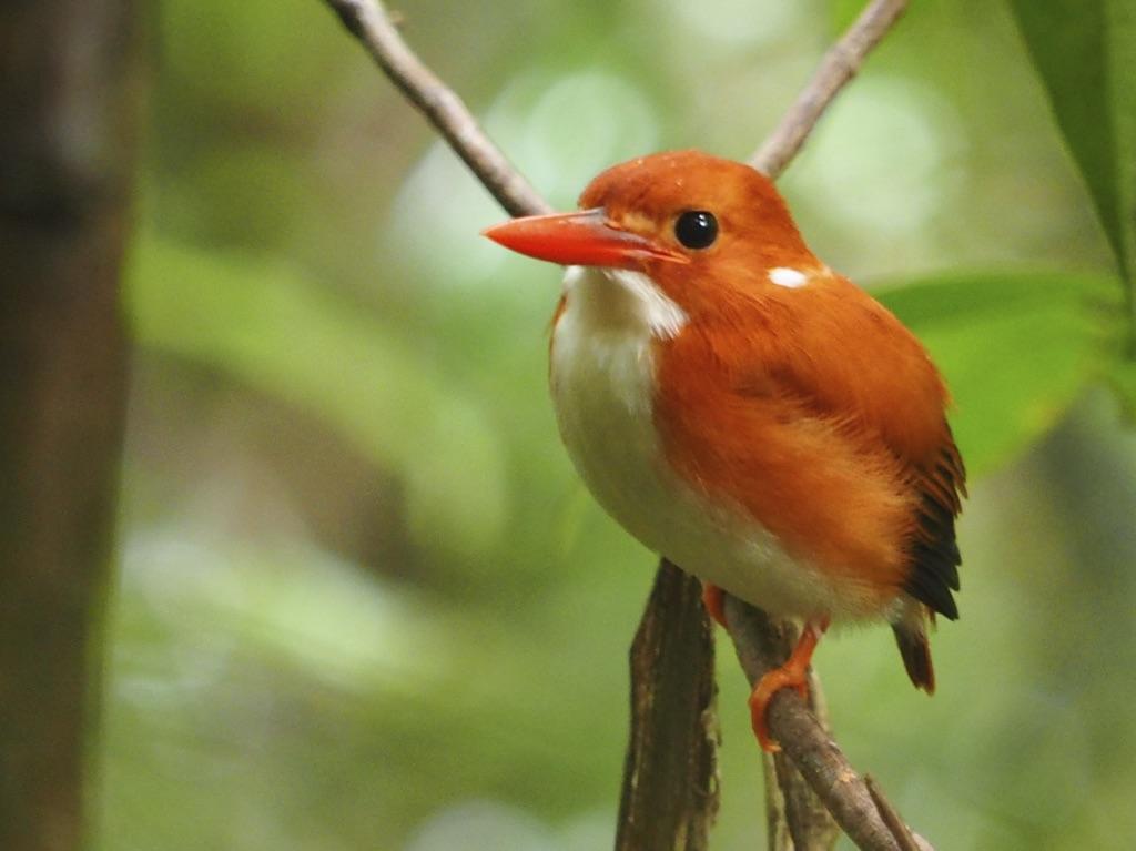 Pygmeän-Eisvogel