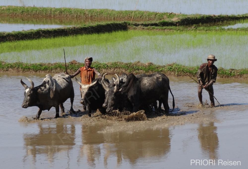 Reisfeld Madagaskar - mit Zebus wird auf dem Feld gearbeitet