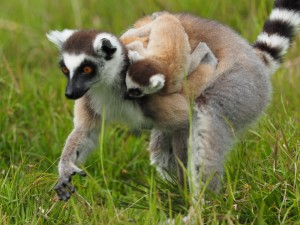 Madagaskar mit Kindern: Katta Lemur