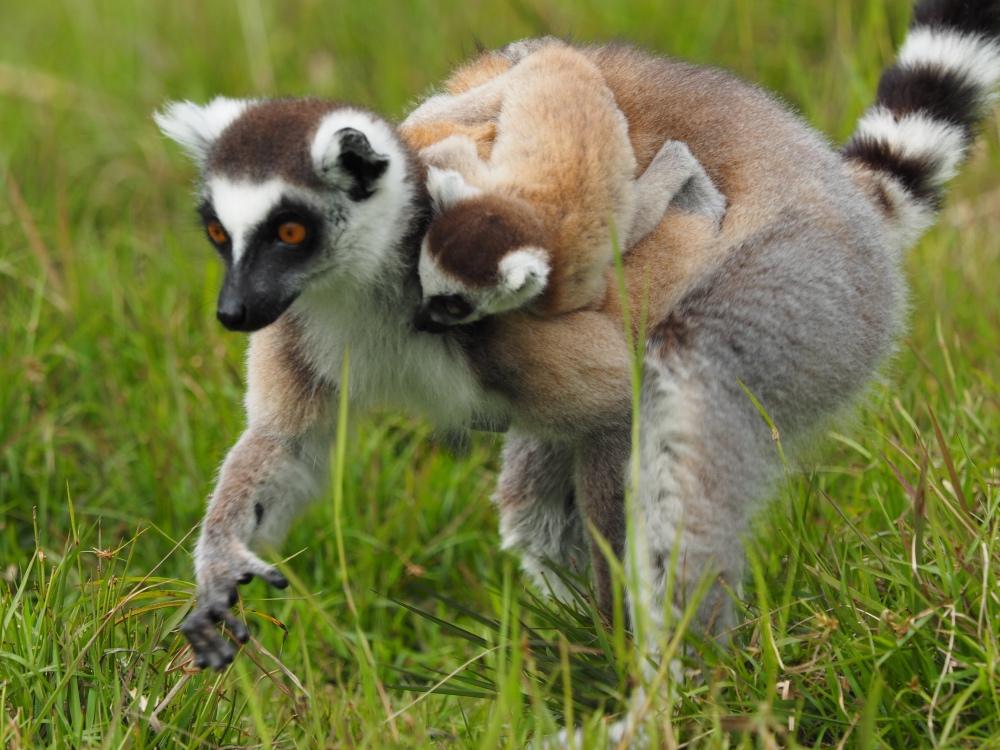 Madagaskars Tiere in Zoos - Lemuren - Katta mit Baby