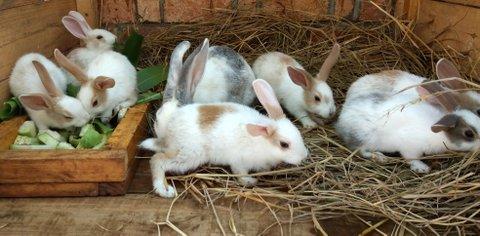 Kaninchenfarbe Madagaskar