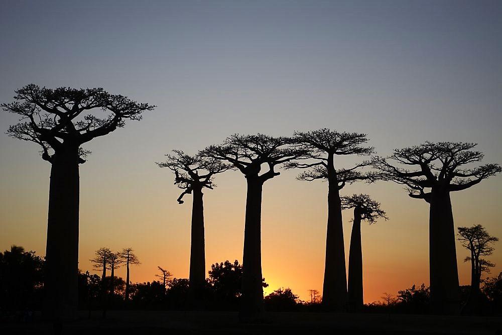 Baobaballee-in-der-Abenddämmerung