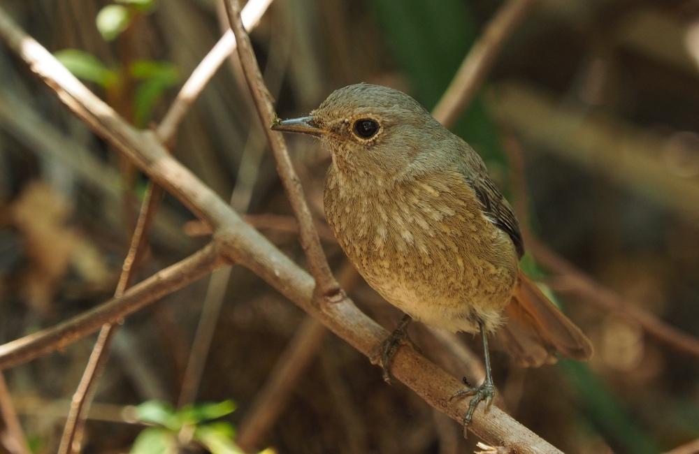 Vogelarten in Madagaskar: Isalo Nationalpark Vogel