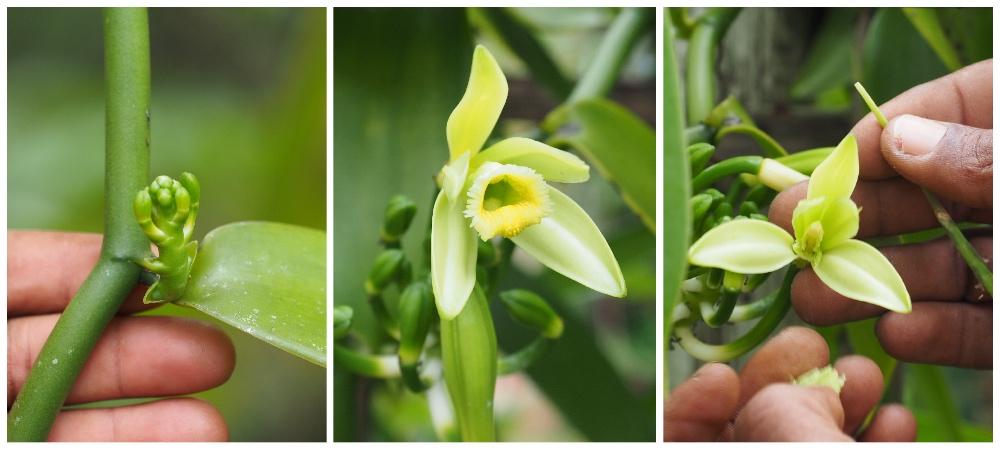 Blüte Vanille Madagaskar