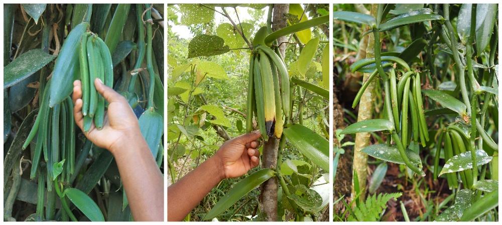 Madagaskar Samenkapseln Vanille
