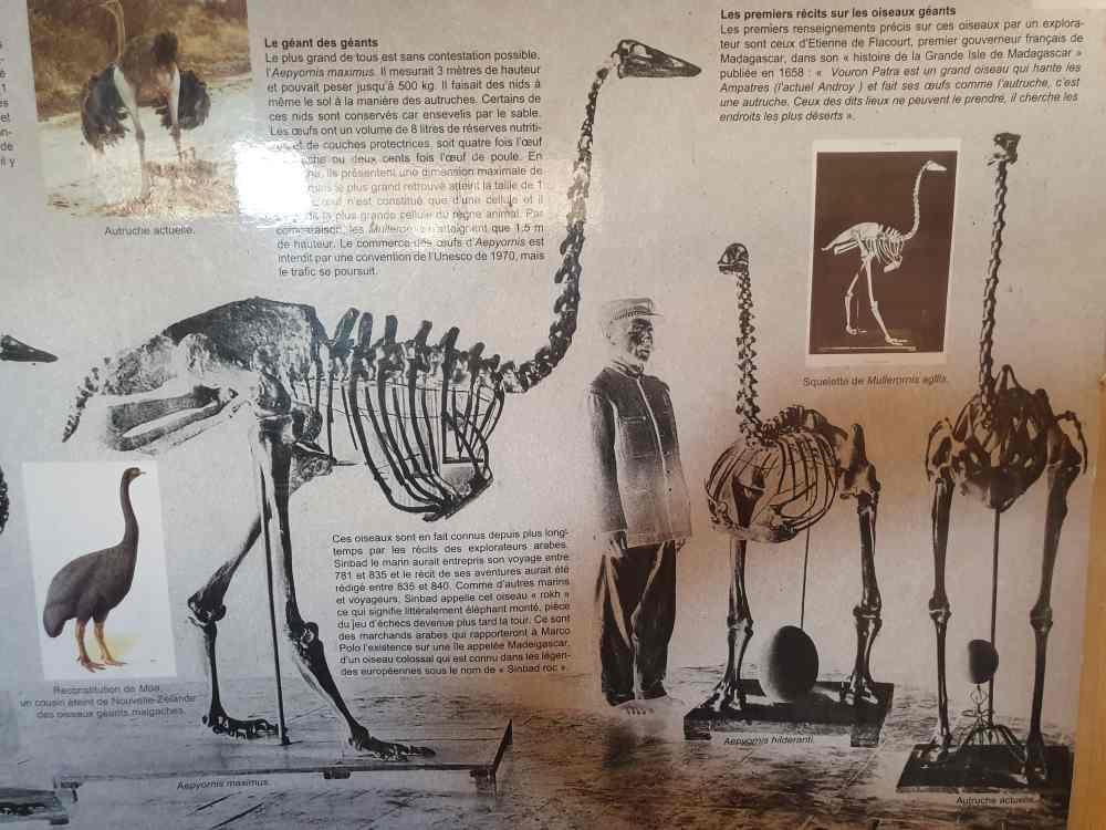 Informationstafeln zum ausgestorbenen Elefantenvogel im Mozea Akiba Museum, Mahajanga, Madagaskar